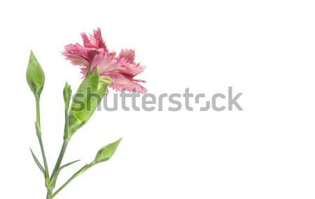 pink carnation flower reverse Stock photo © sherjaca