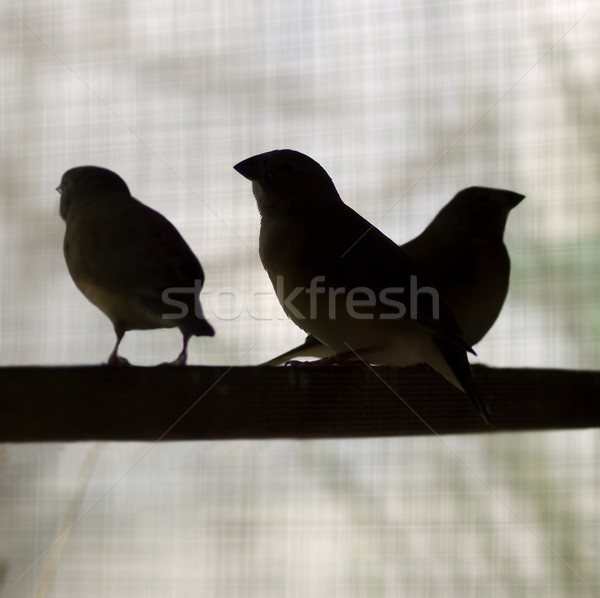 silhouette birds on perch finches Stock photo © sherjaca