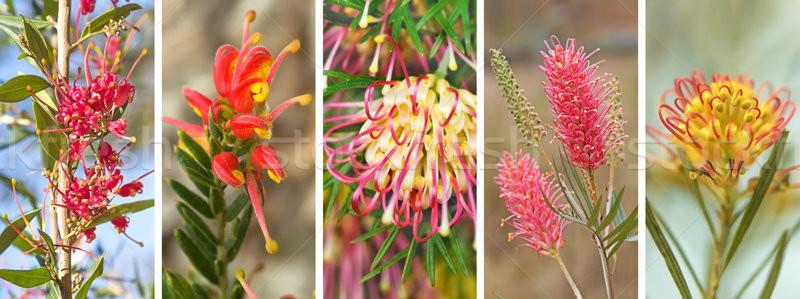 Australian Grevillea Panorama Banner Stock photo © sherjaca