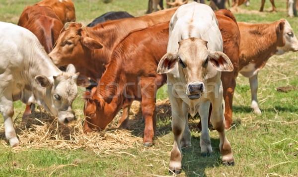 Ausztrál marhahús szarvasmarha fiatal vádli etetés Stock fotó © sherjaca