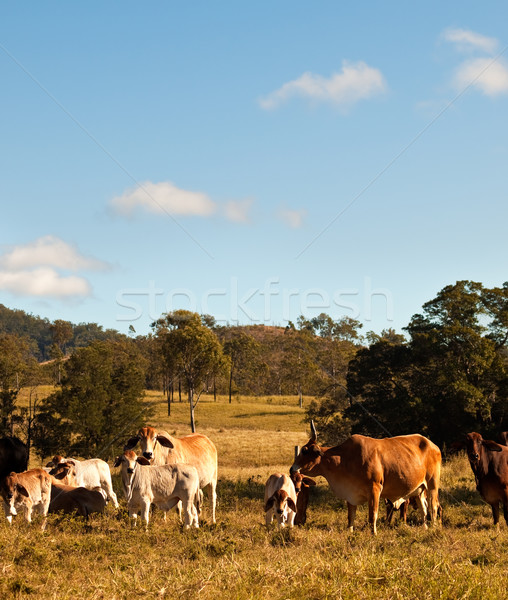 Australian Beef Cattle Stock photo © sherjaca