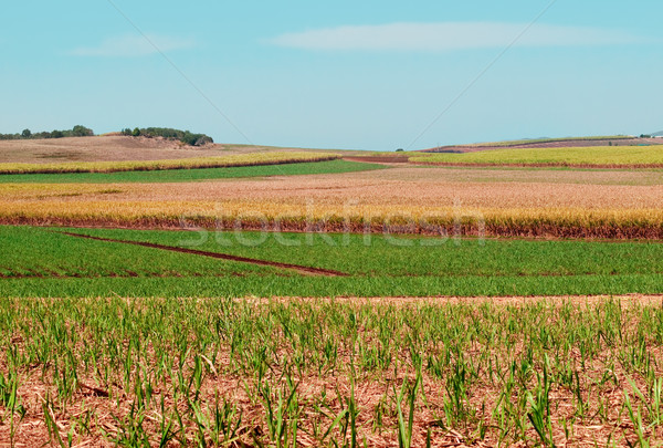 полях австралийский сельского хозяйства плантация пейзаж сахарного тростника Сток-фото © sherjaca