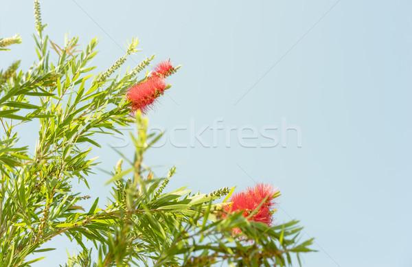 Piros ausztrál vadvirág tavasz felhőtlen kék ég Stock fotó © sherjaca