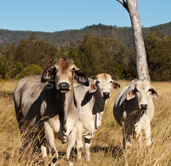 Australian meat industry brahman cattle Stock photo © sherjaca
