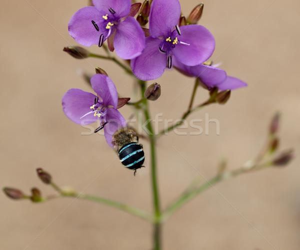 Ausztrál vadvirág őslakos méh lila mályvaszínű Stock fotó © sherjaca