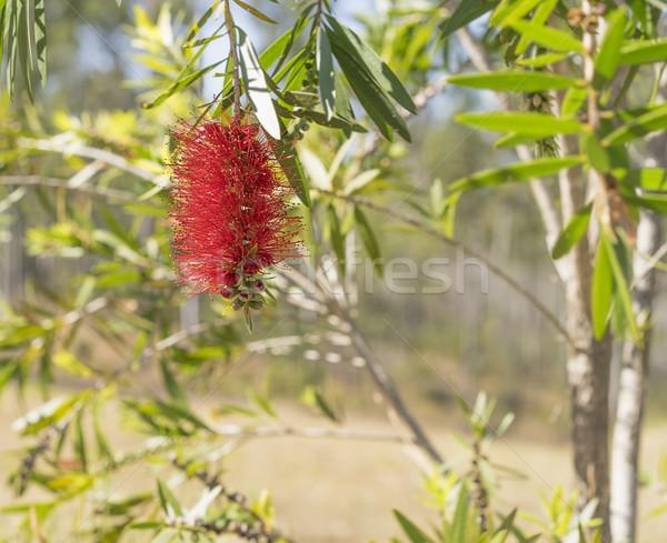 Australian Callistemon red bottlebrush wildflower Stock photo © sherjaca