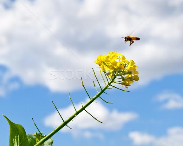 Bahar mavi gökyüzü yağmur bulutlar arı çiçek Stok fotoğraf © sherjaca