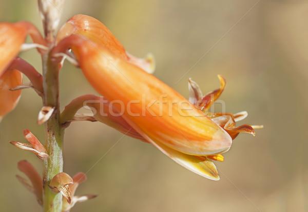 алоэ цветок макроса bokeh подробность Сток-фото © sherjaca