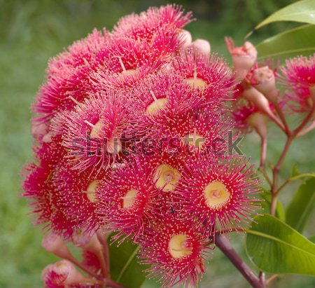 pink red flowers gum tree eucalyptus phytocarpa  Stock photo © sherjaca