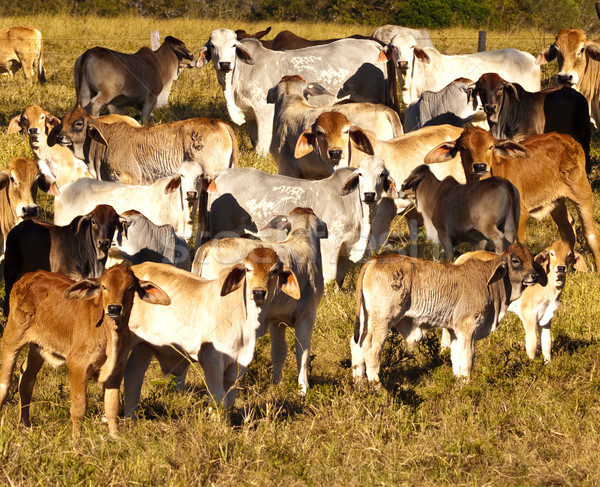 Stock photo: lots of calves and calfs