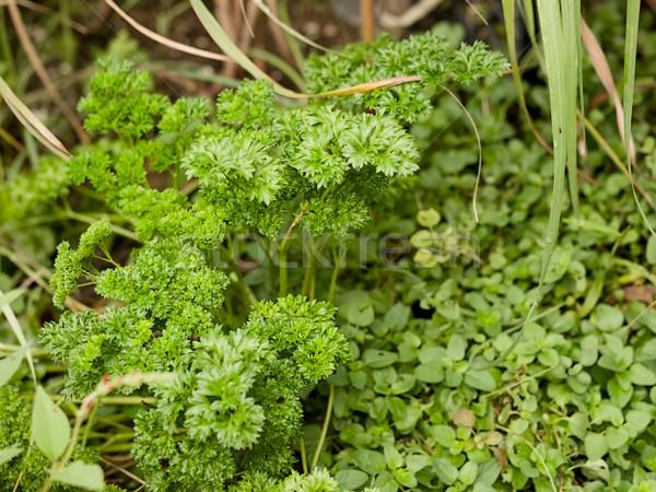Organic herbs parsley and oregano Stock photo © sherjaca