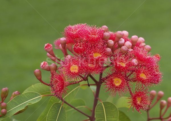red flowers eucalyptus summer red australian native  Stock photo © sherjaca