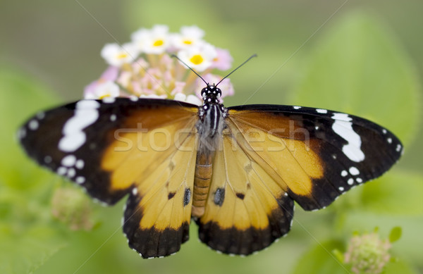 male orange butterfly Plain Tiger (Danaus chrysippus)  African Monarch Stock photo © sherjaca