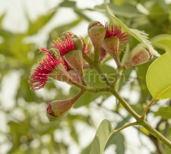 Flowering stage of Australian gumnuts Stock photo © sherjaca