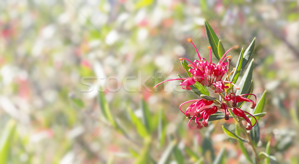 Australian flower Grevillea condolences background Stock photo © sherjaca