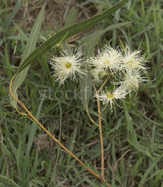 White Australian Gum Flowers Stock photo © sherjaca