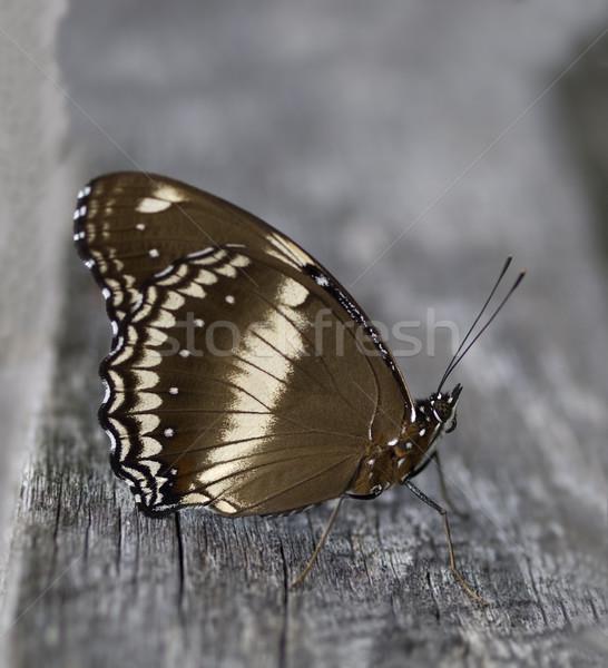 бабочка женщины природы черный крыльями насекомое Сток-фото © sherjaca