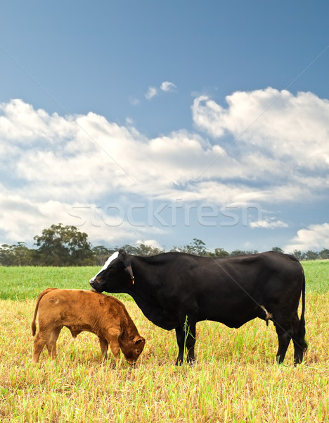 Anne bebek inek avustralya sığır eti sığırlar Stok fotoğraf © sherjaca