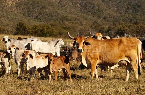 Sığır eti sığırlar inek renk Stok fotoğraf © sherjaca