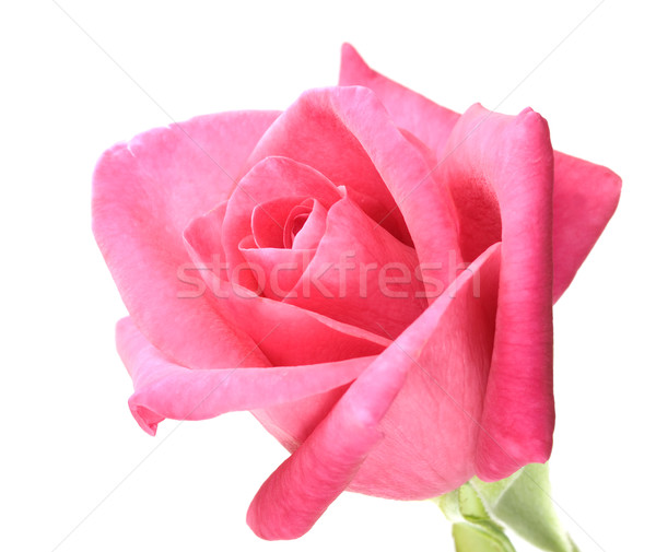 Rosa vermelha flor branco isolado rosa Foto stock © sherjaca