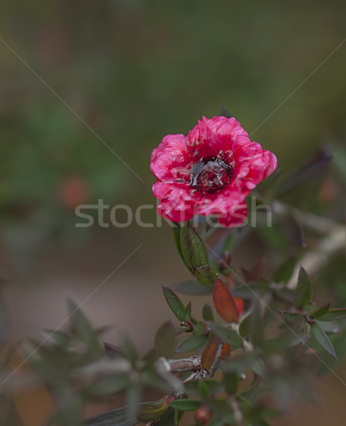 Leptospermum scoparium Burgundy Queen Stock photo © sherjaca