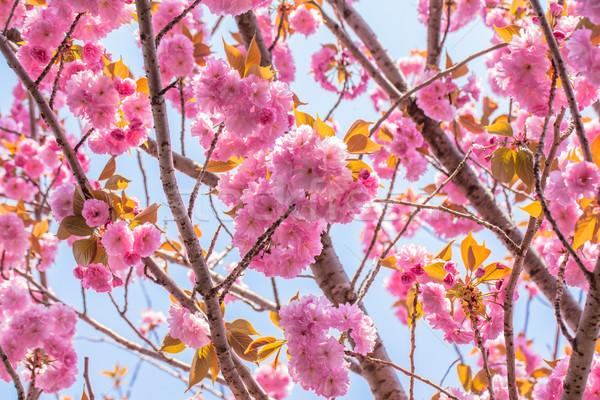 ダブル 桜 ツリー 青空 花 ストックフォト © shihina