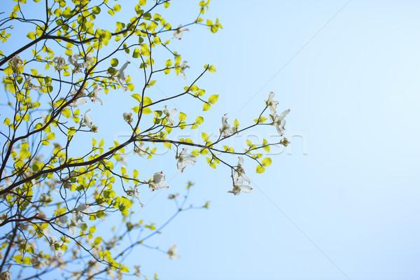 White flowering dogwood tree (Cornus florida) in bloom in sunlight Stock photo © shihina