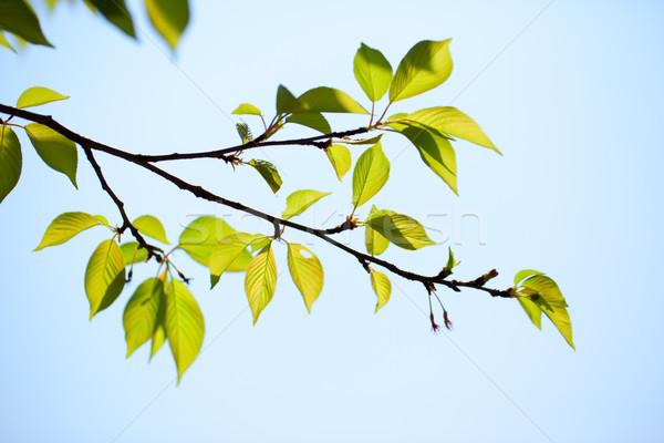 新鮮な 緑の葉 桜 雲 自然 木 ストックフォト © shihina