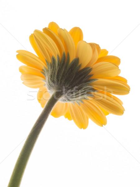 Lovely yellow gerbera daisy flower  Stock photo © shihina