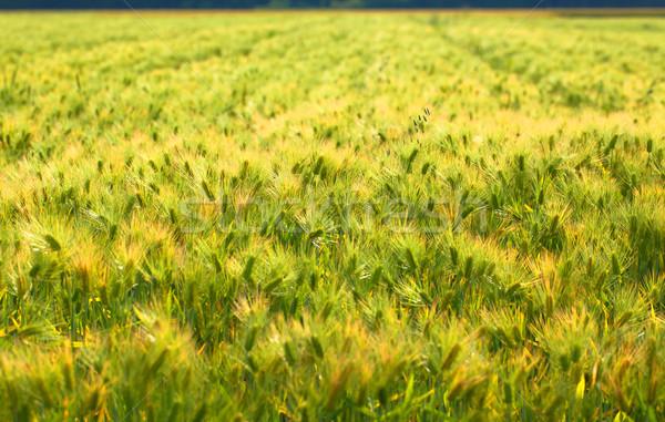 フィールド 小麦 日本 食品 風景 健康 ストックフォト © shihina