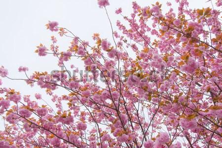 Doble flor de cerezo árbol flor primavera Foto stock © shihina