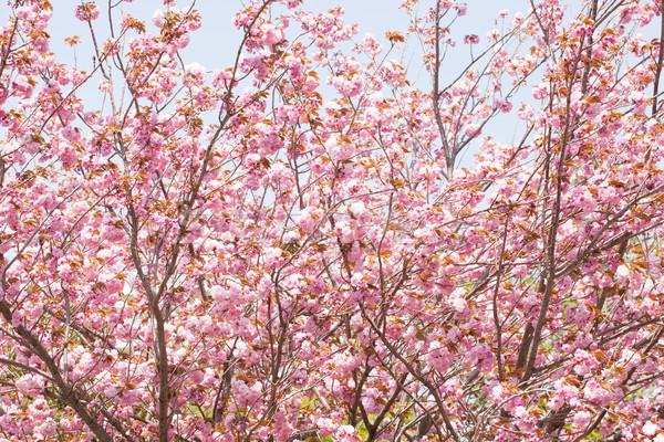Doble flor de cerezo cielo azul cielo flor Foto stock © shihina
