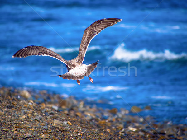 Back of herring gull flying at the coast line Stock photo © shihina