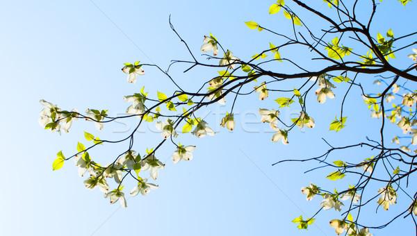 Branches of dogwood (Cornus florida) and blue sky Stock photo © shihina