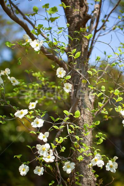 Blanco floración árbol Florida Japón naturaleza Foto stock © shihina