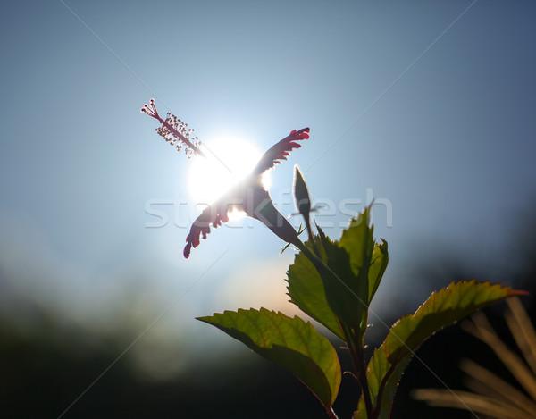 Trópusi piros fényes virág hibiszkusz nap Stock fotó © shihina