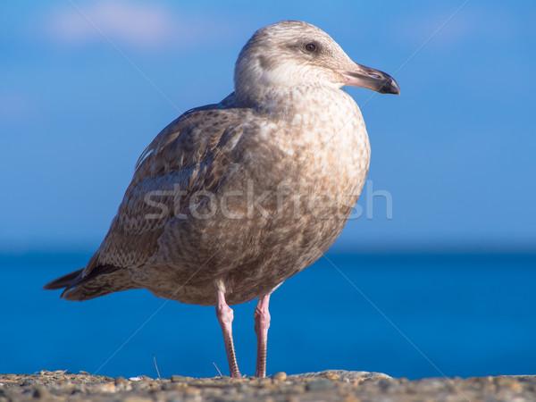 Young herring gull standing at seaside Stock photo © shihina