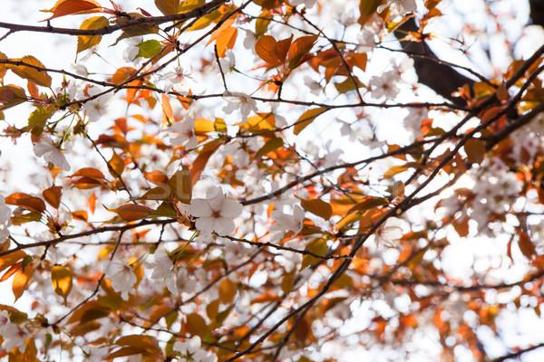 Blooming wild cherry blossoms Stock photo © shihina