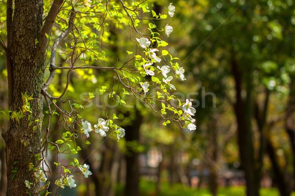 Flowers of dogwood (Cornus florida) Stock photo © shihina