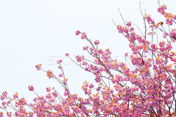 çift kiraz çiçeği ağaç gökyüzü çiçek Stok fotoğraf © shihina