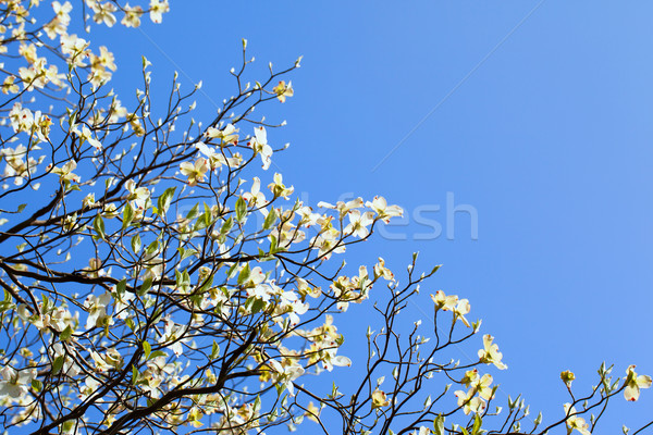 White flowering dogwood tree (Cornus florida) in bloom in blue sky Stock photo © shihina