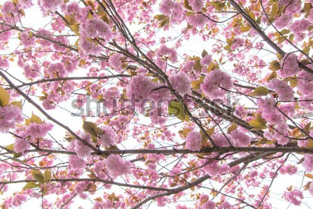 Blooming double cherry blossom branches Stock photo © shihina