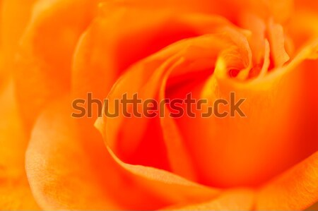 Stock photo: Bright convolute petal of lovely orange rose