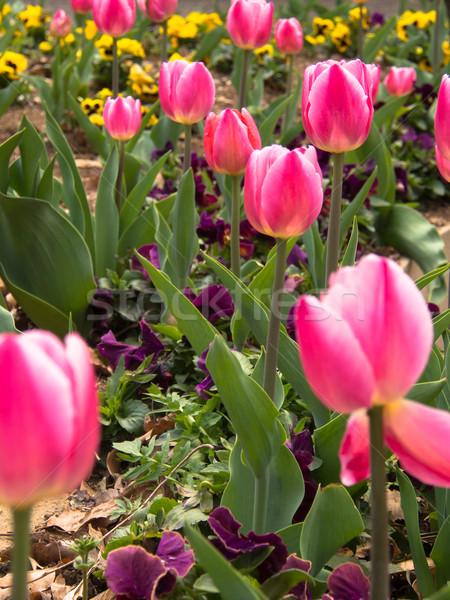 赤 ピンク チューリップ 庭園 花 デザイン ストックフォト © shihina
