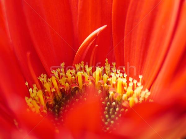 Centro rojo flor resumen arte color Foto stock © shihina