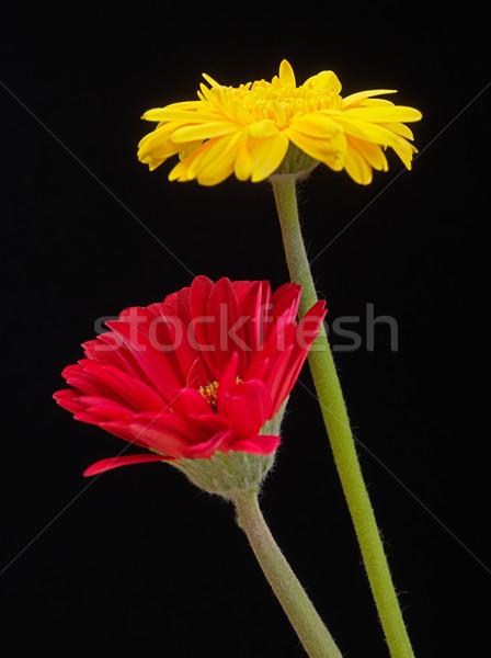 黄色 ピンク デイジーチェーン 花 庭園 背景 ストックフォト © shihina