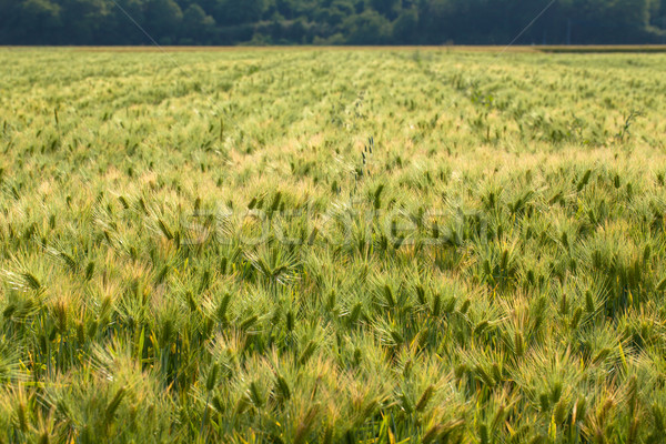 Field of wheat, Japan Stock photo © shihina