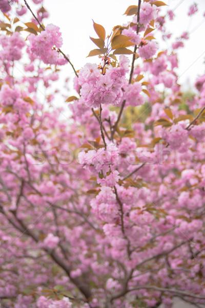 Blooming double cherry blossom tree and sky Stock photo © shihina