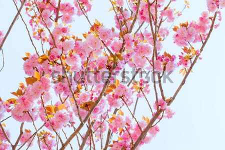 Blooming double cherry blossom tree and sunshine Stock photo © shihina