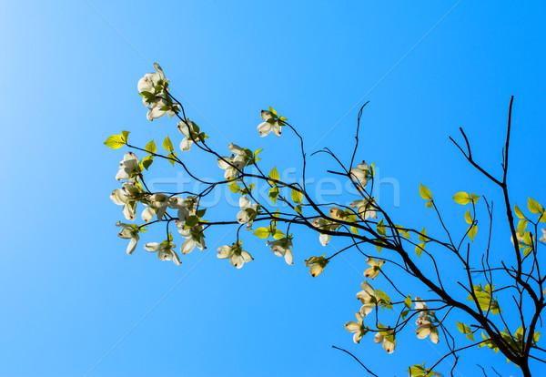 白 開花 ツリー フロリダ 咲く 日光 ストックフォト © shihina